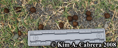 Blacktailed jackrabbit scats. Photo copyright by Kim A. Cabrera 2008.