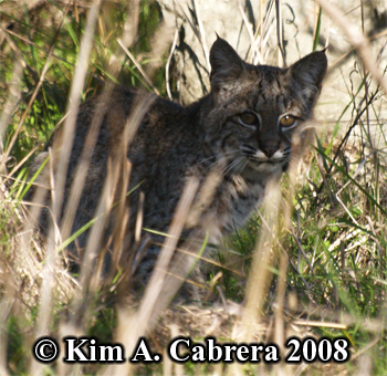 Bobcat alert and watching me. Photo copyright Kim A. Cabrera 2008.