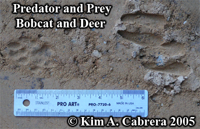 Bobcat and deer tracks next to each other. PRedator and prey. Photo copyright by Kim A. Cabrera 2005.