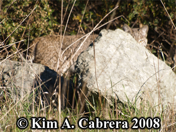 Bobcat peering at me from behind a rock. Photo copyright Kim A. Cabrera 2008.