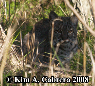 Bobcat crouched in brush. Photo copyright Kim A. Cabrera 2008.