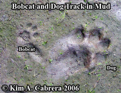 Bobcat and dog tracks next to each other. Photo copyright by Kim A. Cabrera 2006.