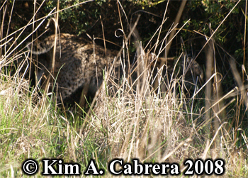 Bobcat entering dense brush. Photo copyright Kim A. Cabrera 2008.