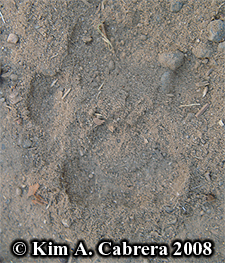 Bobcat paw print in dust. Photo copyright by Kim A. Cabrera 2008.