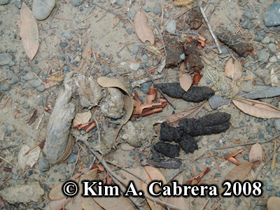 Latrine with scats of a bobcat, gray fox, and raccoon.  Photo copyright by Kim A. Cabrera 2008.