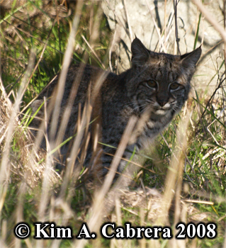 Bobcat looking at me. Photo copyright Kim A. Cabrera 2008.