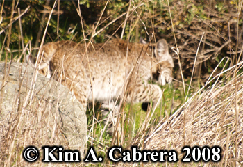 Bobcat with paw up. Photo copyright Kim A. Cabrera 2008.