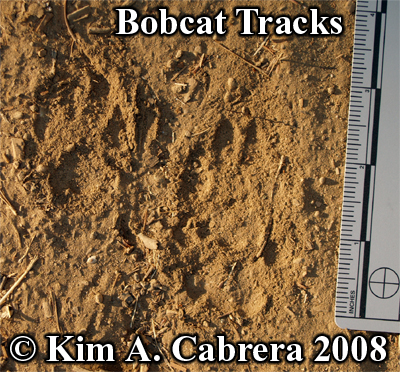 Bobcat pawprints in dust. Photo copyright by Kim A. Cabrera 2008.
