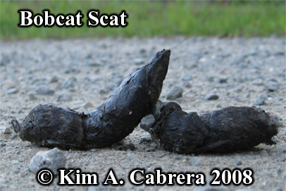 Bobcat scat found on a dirt road.  Photo copyright Kim A. Cabrera 2008.