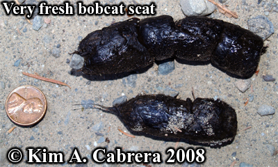 A very fresh Bobcat scat. Photo copyright by Kim A. Cabrera 2008.