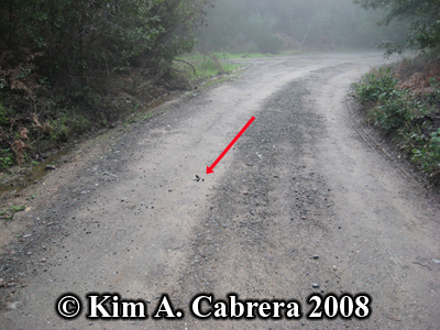 Bobcat scat placement on dirt road. Photo copyright by Kim A. Cabrera 2008.