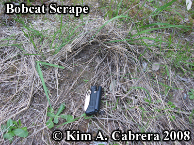 Bobcat scrape in grass. Photo copyright by Kim A. Cabrera 2008.