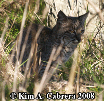 Bobcat looking to the side. Photo copyright Kim A. Cabrera 2008.