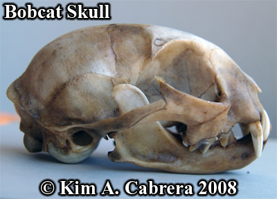 Bobcat skull side view. Photo copyright Kim A. Cabrera 2008.