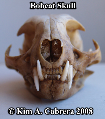 Bobcat skull front view. Photo copyright Kim A. Cabrera 2008.