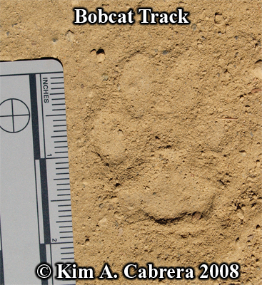 Nice bobcat track in dust. Photo copyright by Kim A. Cabrera 2008.
