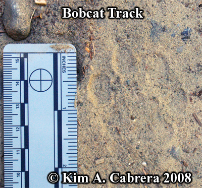 A bobcat track on a dusty road shows nearly perfect details. Photo copyright by Kim A. Cabrera 2008.