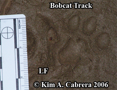 Left front track of a bobcat in mud. Perfect details! Photo copyright by Kim A. Cabrera 2006.