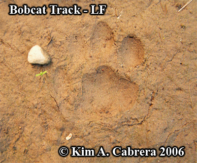 A second left front track from the same bobcat. Photo copyright by Kim A. Cabrera 2006.