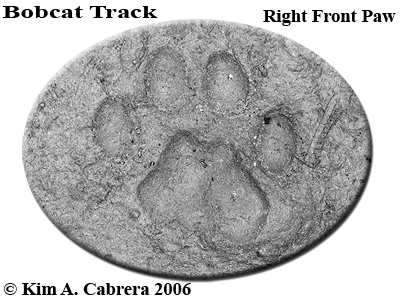 Right front pawprint of a bobcat.  Photo copyright by Kim A. Cabrera 2006.