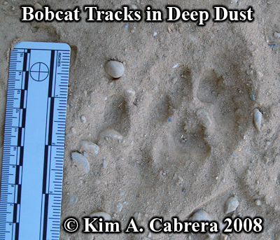 Bobcat tracks in deep dust. Photo copyright by Kim A. Cabrera 2008.