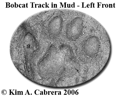 Left front bobcat pawprint in mud.  Photo copyright by Kim A. Cabrera 2006.