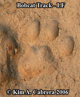 Left front track from a bobcat paw. Photo copyright by Kim A. Cabrera 2006.