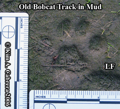 Left front bobcat track. Photo copyright by Kim A. Cabrera 2006.