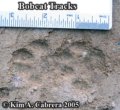 A pair of overlapping bobcat tracks. Photo copyright by Kim A. Cabrera 2005.