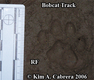 Perfect right front track from a bobcat. Photo copyright by Kim A. Cabrera 2006.