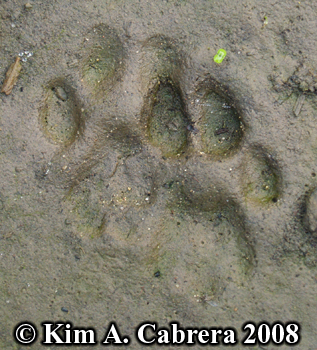 Bobcat track pair. Photo copyright Kim A. Cabrera 2008.