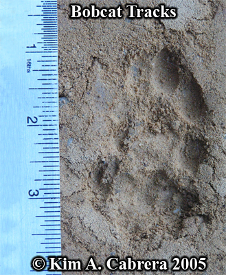 Overlapping pair of bobcat tracks. Photo copyright by Kim A. Cabrera 2005.