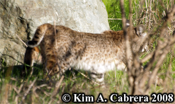 Bobcat walking quietly away from me. Photo copyright Kim A. Cabrera 2008.