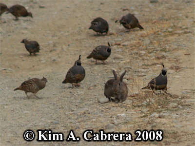 Brush rabbit feeding in the midst of quail covey. Photo copyright by Kim A. Cabrera 2008.