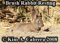 Brush rabbit resting. Photo copyright by Kim A. Cabrera 2008.