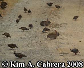 Brush rabbits and quail. Photo copyright by Kim A. Cabrera 2008.