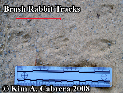 A fine set of brush rabbit tracks in dusty soil. Photo copyright by Kim A. Cabrera 2008.