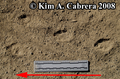 Blacktailed jackrabbit tracks on a dirt road. Photo copyright by Kim A. Cabrera 2008.