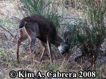 Buck thrashing a plant with his antlers. Photo                     copyright Kim A. Cabrera 2008.