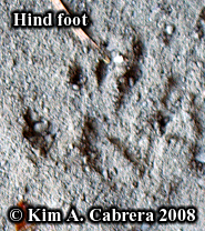 Chipmunk track. Photo copyright Kim A. Cabrera 2008.