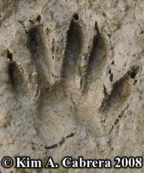 Raccoon kit pawprint. Photo copyright Kim A. Cabrera 2008.