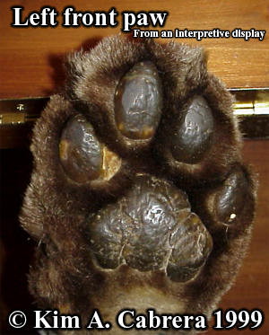 Mountain lion paw photo. Photo copyright by Kim A. Cabrera 1999.