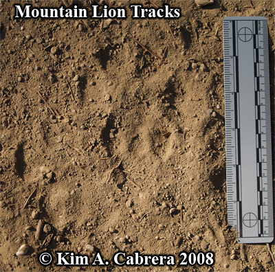 A set of slightly overlapping cougar tracks. Photo copyright by Kim A. Cabrera 2008.