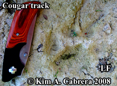 Nicely detailed cougar (AKA mountain lion) track in dried mud. Photo copyright Kim A. Cabrera 2008.