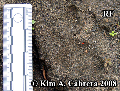 A beautiful cougar track in sand. Right front foot. Photo copyright Kim A. Cabrera 2008.