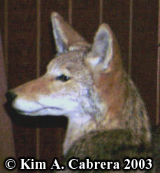 Coyote face. From a display. Photo copyright Kim A. Cabrera 2003.