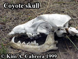 Coyote skull. Photo copyright by Kim A. Cabrera 1999.