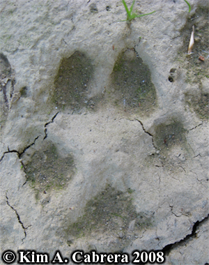 Coyote track in mud. Photo copyright Kim A. Cabrera 2008.