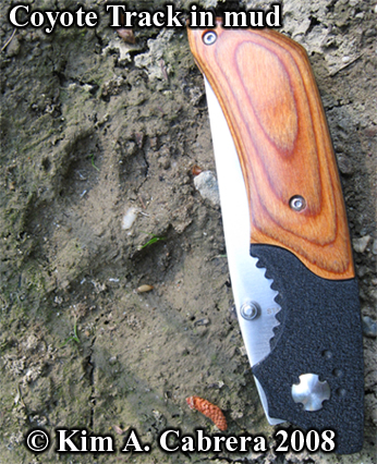 Coyote track in mud. Knife for scale. Photo copyright Kim A. Cabrera 2008.