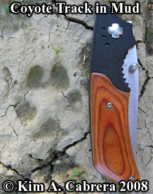 Coyote                       track in mud. Knife gives scale. Photo copyright                       Kim A. Cabrera 2008.